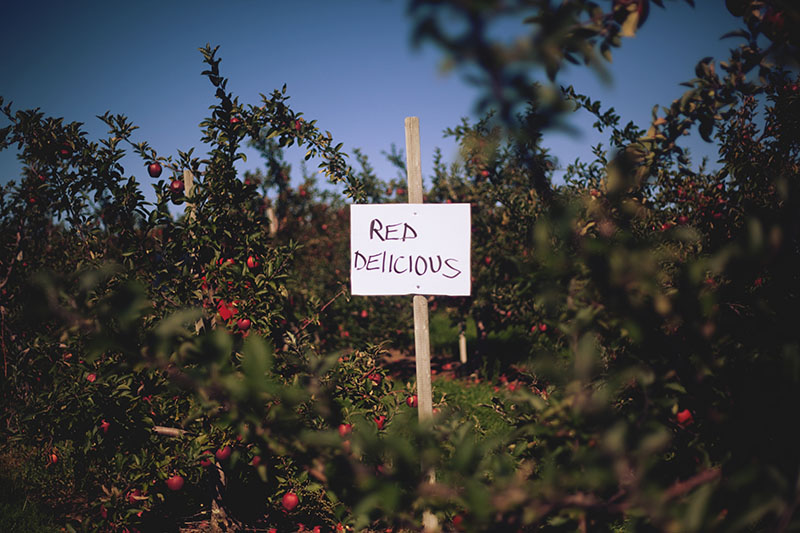 apple picking red delicious apples