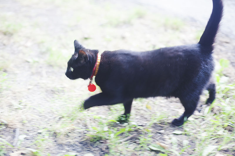 black-cat-prancing