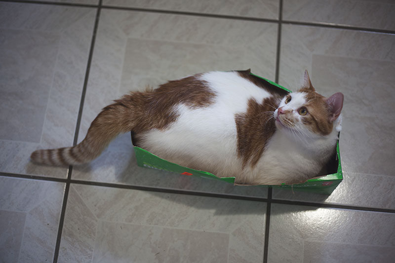 fat-cat-in-small-box
