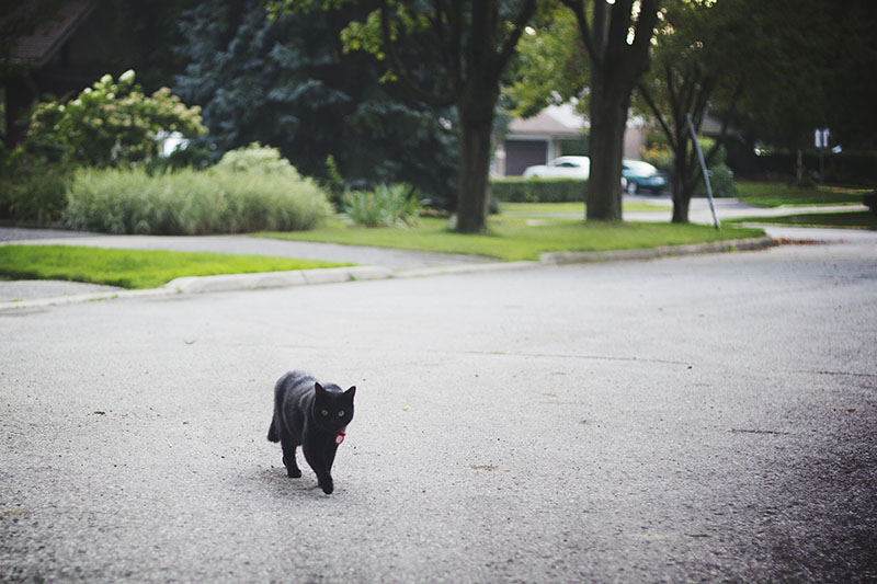 black-cat-walking-toward-us