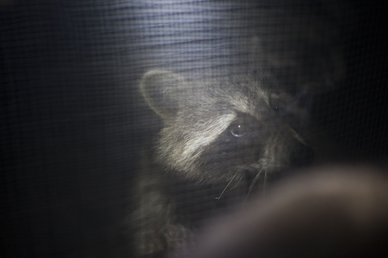 raccon-outside-window-elise-and-thomas