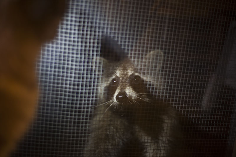 raccoon-looking-inside-from-window