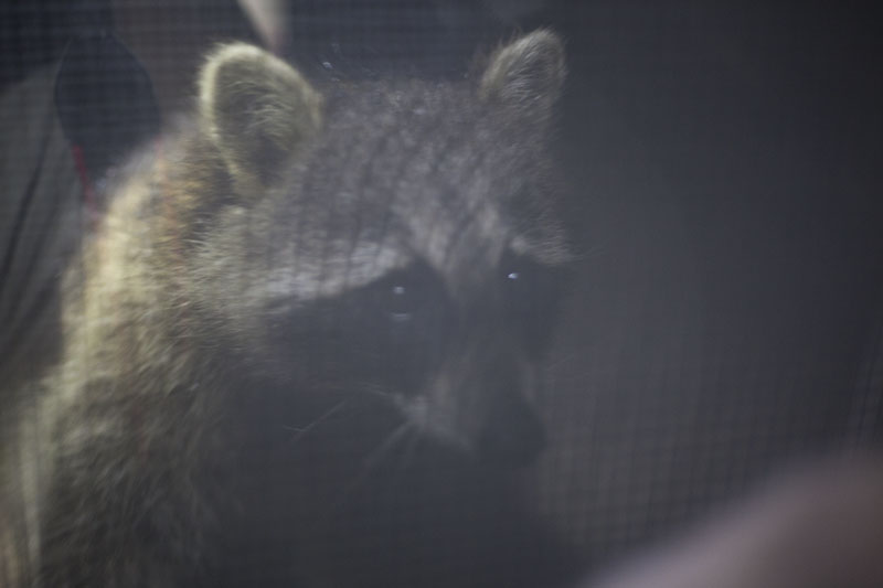 raccoon-peering-inside-house-from-window