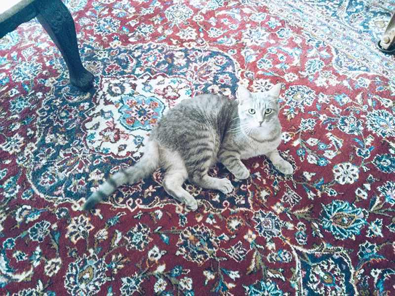 cat-sitting-on-persian-rug-elise-and-thomas