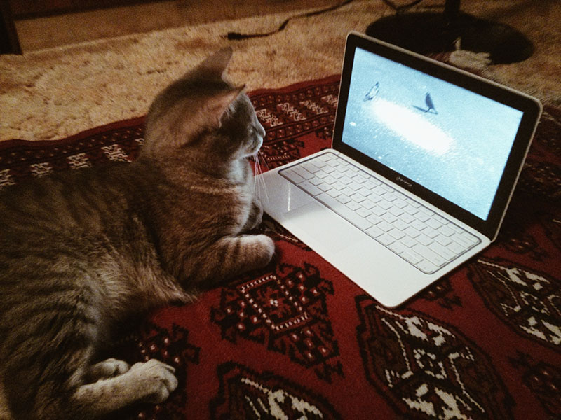 cat-watching-bird-video-on-chromebook