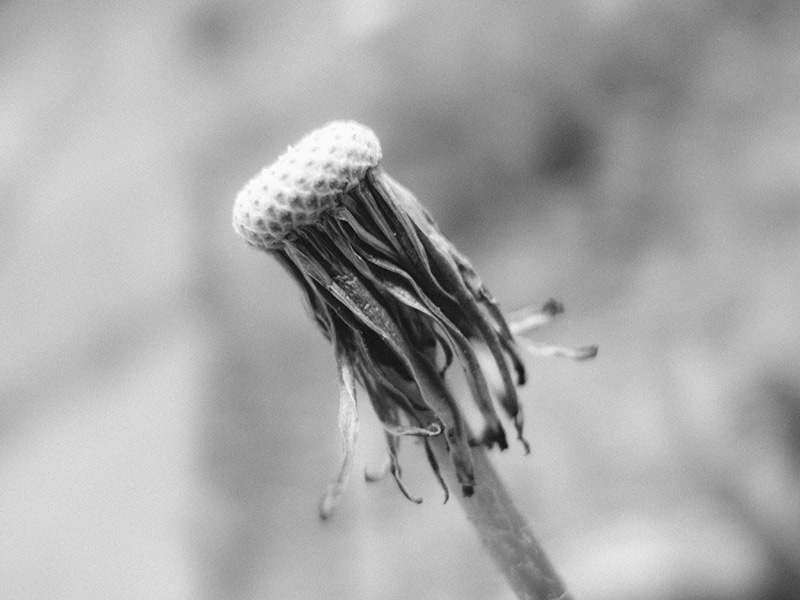 dying-dandelion