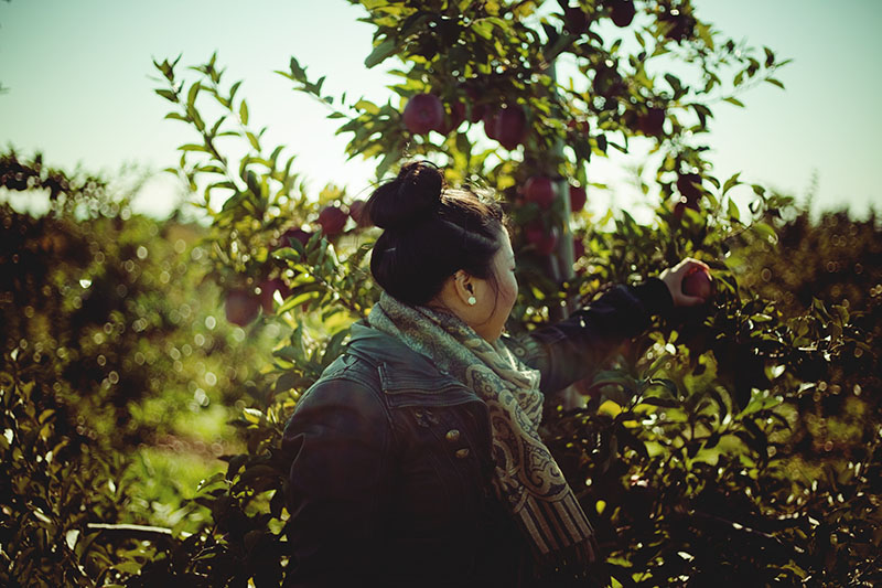 apple picking at apple orchard