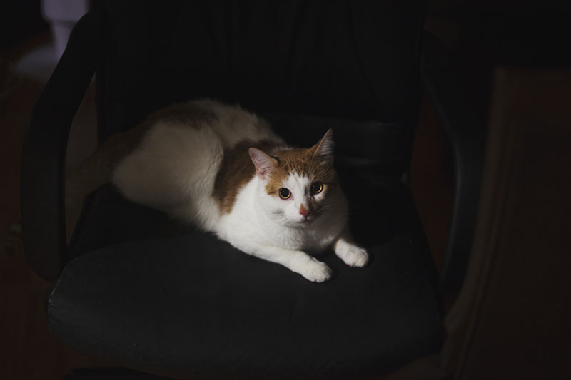 cat-on-leather-chair