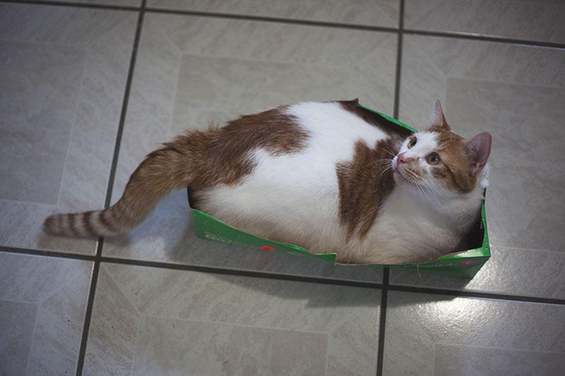 fat-cat-in-small-box