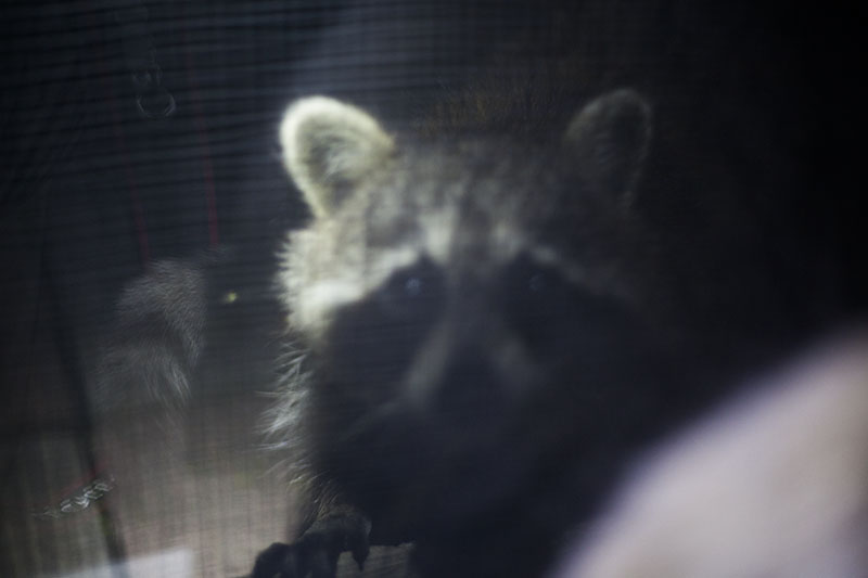 elise-and-thomas-blog-raccoon-staring